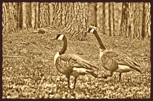 2020.06.13 Geese edited