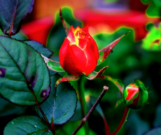 2020.07.08 Converted Rose rr