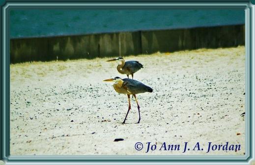 2020.08.11 Sea Birds rr